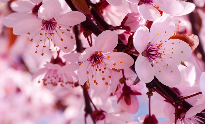 10 most beautiful flowers in the world 10 nothing is more beautiful than the arrival of spring in japan when the cherry blossoms trees are in full bloom the unofficial flowers of japan mightylinksfo